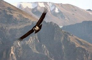 condor-andino